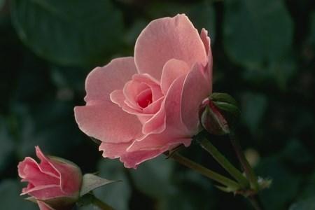 http://zibasaz.net/flower/18.jpg